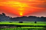 Sunset On The Yellow Mustard Fields