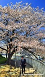 The Sad Clerk Under The Glorious Sakura