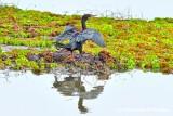 A Cormorant Reflection
