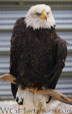 Bald Eagle Whitehorse Yukon