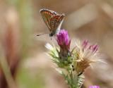 Rödfläckig blåvinge - Brown Argus - Aricia agestis