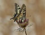 Makaonfjäril,  Swallowtail  (Papilio machaon)