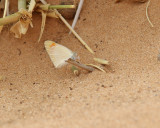 Desert Orange Tip  Colotis evagore ?
