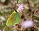 Sydlig citronfjäril  Cleopatra   Gonepteryx cleopatra
