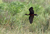 Bronsibis Glossy Ibis  Plegadis falcinellus