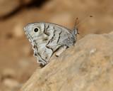 Striped Grayling  Pseudotergumia fidia