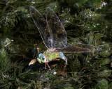 Kejsartrollslända  Emperor dragonfly  Anax imperator