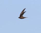 Tornseglare  Common Swift  Apus apus