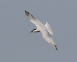 Sandtärna  Gull-Billed Tern Sterna nilotica