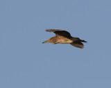 Natthäger  Night Heron  Nycticorax nycticorax