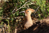 Härfågel  Eurasian Hoopoe  Upupa epops
