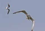 Medelhavstrut  Yellow-legged Gull  Larus michahellis atlantis