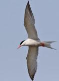 Fisktärna  Common Tern Sterna hirundo