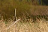 Common Stonechat - Svarthakad buskskvätta