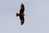 Black Kite - Brunglada