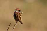 Eurasian Tree Sparrow - Pilfink