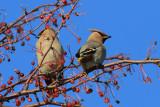 PASSEREAUX / SONGBIRDS