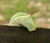Rustic Sphinx  Caterpillar Tail (7778)