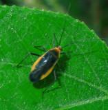 Prepops Plant Bug