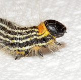 Contracted Datana Moth Caterpillar (7906)