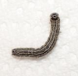Angus's Datana Moth Caterpillar (7903)