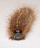 Harnessed Tiger Moth Caterpillar (8169)