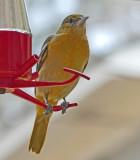 Immature Female at Hummingbird Feeder