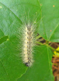 Fall Webworm Moth Caterpillar (8140)