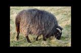 My  Drenthe Heath Sheep