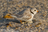 Piping Plover (on nest)