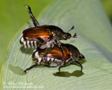 Japanese Beetle (mating)