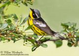 Warblers in Central Park
