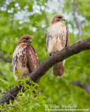 Red-tailed Hawk (pair)