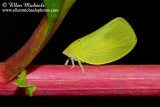 Planthopper - Acanalonia conica
