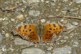 Polygone(sp) - Comma(sp)