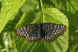 Baltimore - Baltimore checkerspot - Euphydryas phaeton (4516)