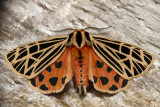 Apantèse vierge - Virgin Tiger Moth - Grammia virgo (8197)