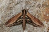 Sphinx du laurier - Laurel Sphinx - Sphinx kalmiae (7809)