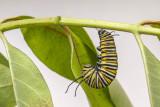 Chenille du Monarque suspendue - Monarch caterpillar hanging