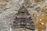 Likenée semirelecta - semirelect underwing - Catocala semirelicta (8821)