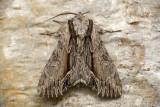 Noctuelle des atocas - Common Hyppa - Hyppa xylinoides (9578)