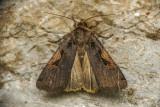 Greater Black-letter Dart - Xestia dolosa
