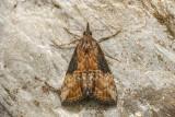 Noctuelle des légumineuses - Green Cloverworm - Hypena scabra (8465)
