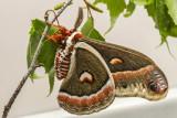 Saturnie cécropia - Cecropia Moth - Hyalophora cecropia (7767)