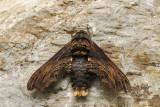 Sphinx d'Abbott - Abbott's Sphinx - Sphecodina abbottii (7870)