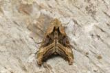 Olive Angle Shades - Phlogophora iris (9546)