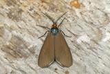 Cténuche de Virginie - Virginia ctenucha - Ctenucha virginica (8262)