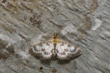 Small Magpie Moth - Anania hortulata (4952)