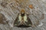 Hologram Moth (Aka Green-patched Looper Moth) - Diachrysia balluca (8897)