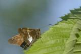 Hespérie à taches argentées - Silver-spotted Skipper - Epargyreus clarus (3870)